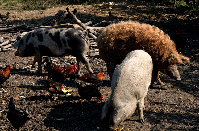 Mangalitsa - Hungarian hairy pig - the red Curly stands out